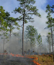 Fire effects data is collected on each prescribed fire at OSBS